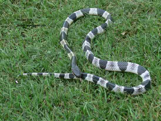 Le serpent Krait Malayan