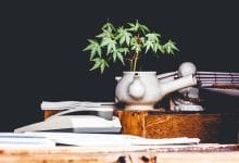 plante de cannabis en pot